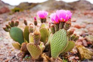 Prickly Pear Cactus – Does It Cure Hangovers?