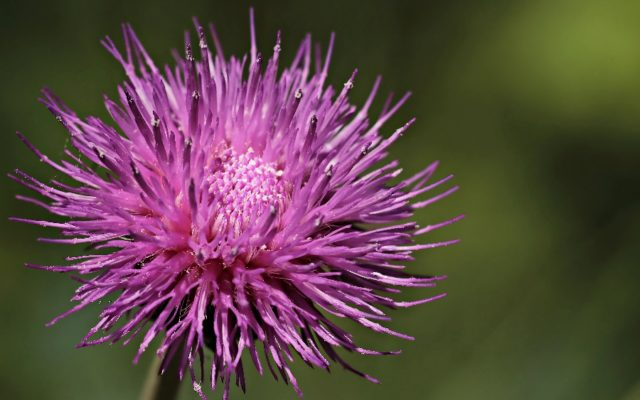 Is Milk Thistle Good For Hangovers?