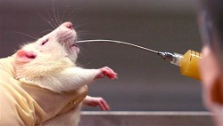 Rats given a dose of alcohol & DHM